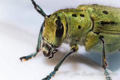El visitante verde (Jon Zazpe) Tags: naturaleza insectos macro verde nature closeup bug insect tubes sigma insects bugs micro extension 105 pequeo insecto estension