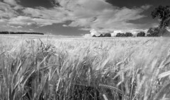 Dance of the corn..... (simonbrown79) Tags: summer clouds movement corn wheatfields