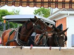 IMG_3788 (joyannmadd) Tags: amish horses intercourse pennsylvania kitchenkettlevillage farm animals lancaster coumty pa farms nature outdoors