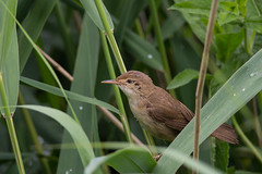 Reed Warbler (keith.gallie) Tags: brown bird reed warrington eyes little birding job warbler woolston