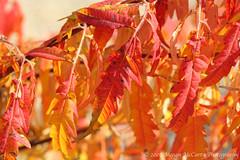 Sumac Leaves (Megan E. McCarty) Tags: leaves plants flora sumac trees nature fall november canon canonrebelxt canoneosdigitalrebelxt
