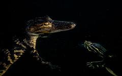 a friendship not meant to last (William Miller 21) Tags: nature canon florida turtle wildlife alligator 7d leesburg prey predator juvenile behavioral lakeharris 300f4