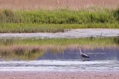 Leighton Moss RSPB (robin denton) Tags: bird heron nature reflections landscape wildlife naturereserve waterscape rspb leightonmoss birdreserve rspbreserve
