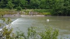 Cigno sul Mincio (marco_ask) Tags: panorama riva fiume corso acqua torrente cigno allaperto insenatura corsodacqua rivadelfiume mesegiugno