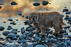 Beefy on Golden Pond (LostMyHeadache: Absolutely Free *) Tags: sunset dog pet cute love nature water canon reflections river puppy evening spring twilight friend rocks dusk beefy cockerspaniel 1001nights companion davidsmith calgaryalbertacanada 1001nightsmagiccity eo60d