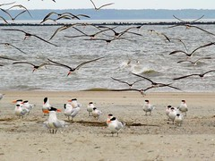 Here They Come (ChicaD58 (busy)) Tags: ocean vacation beach georgia outdoors inflight spring waves royaltern landing tybeeisland sandwichtern blackskimmer circling atlanticflyway overcastmorning 275a colonialcoastalbirdingtrail