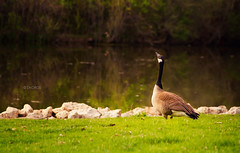 Inspire (Zagros.os) Tags: lake green nature up canon goose shore inspire 200mm 1000d