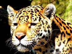 Leopard 4 (Rick Ellerman) Tags: animal animals zoo scotland edinburgh watching picasa lips leopard finepix hungry licking zoos leopards edinburghzoo zoological fujifim animaladdiction hs30