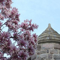 Circular Tower: St. Thomas the Apostle Church (marylea) Tags: pink flowers spring catholic michigan blossoms annarbor magnolia catholicchurch blooms magnolias stthomasaa stthomastheapostlecatholicchurch