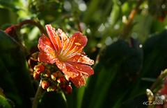Bitterwurz  / Lewisia (Ellenore56) Tags: light sunlight inspiration color colour detail macro reflection cup floral botanical licht photo bush flora focus foto blossom magic perspective lewis drop explore bloom raindrops vista droplet imagination outlook moment shrub makro blte magical farbe reflexion calyx lewisia raindrop perspektive reflektion tropfen chalice goblet dud augenblick lewisiacotyledon fokus florescence waterdroplet botanik regentropfen staude trpfchen faszination sonnenlicht bltenkelch immergrn kelch meriwetherlewis explored bitterwurz pflanzenwelt sonya350 evengreen indeciduous steingartengewchs porzellanrschen ellenore56 lewisie lewisien montiacea 12052013 herbaceoushardyperennial