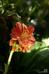 Bitterwurz  / Lewisia (5) (Ellenore56) Tags: light sunlight inspiration color colour detail macro reflection cup floral botanical licht photo bush flora focus foto blossom magic sunday perspective lewis drop explore bloom raindrops vista droplet imagination outlook moment shrub makro blte magical farbe reflexion calyx sonntag lewisia raindrop perspektive reflektion tropfen chalice goblet dud augenblick lewisiacotyledon fokus florescence botanik regentropfen staude trpfchen faszination sonnenlicht bltenkelch immergrn kelch meriwetherlewis explored bitterwurz pflanzenwelt sonya350 evengreen indeciduous steingartengewchs porzellanrschen ellenore56 lewisie lewisien montiacea 12052013 herbaceoushardyperennial