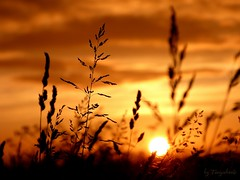 Sunset on wild herbs (tonywheels) Tags: light sunset wild sky sun nature clouds landscape photography soleil spring herbs explore ciel printemps coucherdesoleil herbes explored 2013 wildherbs herbessauvages