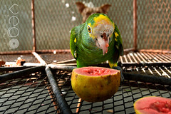 Tuta. (Connie Vega) Tags: pet bird parrot guava loro guayaba mascosta