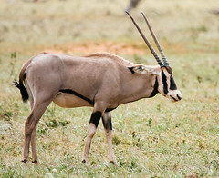 Tsavo East National Park, Kenya (Paul A Thomas) Tags: kenya mammals oryx eventoedungulates tuftedear afrotropical