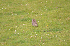 LittleOwl_15062013_3a (Kim Wall Photography (Purplesun2001)) Tags: somerset littleowl nyland kimwallphotography