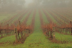 Foggy Morning Clare Valley (Darren Schiller) Tags: mist green weather fog vineyard vines clare trellis grapes southaustralia