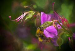 Where the Bee Sucks ... (Explored) (pollylew) Tags: summer flower insect bee cranesbill hardygeranium geraniumcantabrigiense