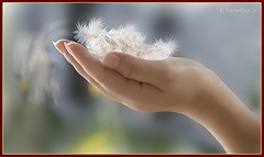 Touch By Nature (VERODAR) Tags: nature nikon hand wind touch sarawak malaysia borneo thatch kuching blown lalang bidayuh kampunggiam bladygrass nikond5000 thatchgrass verodar veronicasridar lalangseeds
