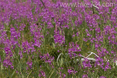 """Fireweed • <a style=""""font-size:0.8em;"""" href=""""http://www.flickr.com/photos/63501323@N07/9456569663/"""" target=""""_blank"""">View on Flickr</a>"""