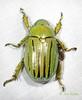 BG2013_225 Chrysina gloriosa (edit) (MO FunGuy) Tags: arizona beetles maderacanyon shiningleafchafer santaritamountains pimacounty chrysina bugswarm2013