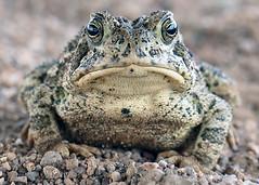 Anaxyrus woodhousii, Woodhouse's Toad,Coronado National Forest, Cochise County, Arizona (Brad Wilson, DVM) Tags: arizona animal amphibian toad coronadonationalforest bufonidae cochisecounty woodhousestoad anaxyruswoodhousii