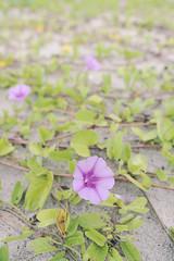 takkan terpisah.. (hari{z}ulkarnain) Tags: morning beach seaside purple glory morningglory pantai kelantan kelate bachok melawi