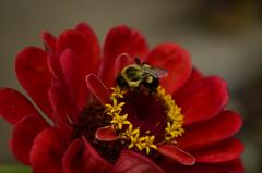 Pollinating The Zinnias 2 (craighall4) Tags: flowers flower macro nature closeup outdoor bugs bee bumblebee zinnia pollinating