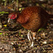 Copper Pheasant (male)