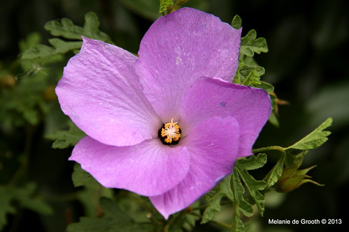 Pale Purple Hibiscus