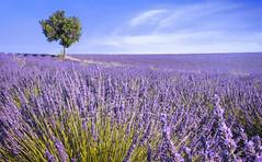 campo di lavanda (invitojazz) Tags: camp tree nikon lavender campo albero lavanda d90 invitojazz vitopaladini