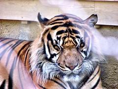 Tiger Lisbon (mattygmbb) Tags: life wild orange love portugal animal animals zoo lisbon tiger powerful originalfilter