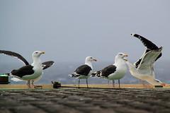 Arctic Seagulls (Chickenhawk72) Tags: seagulls birds norway circle edge rig resting polar artic drilling semisub oilgas helideck norwegiansea transoceanwinner