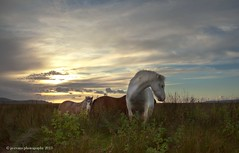 Ponies on the Marsh (Jo Evans1 - off and on for a while) Tags: sunset sky grass clouds ponies marsh penclawdd