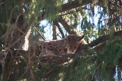 IMG_6415 (Bodyl) Tags: animal mammal lynx innsbruck tier alpenzoo luchs säugetier eurasianlynx lynxlynx eurasischerluchs nordluchs