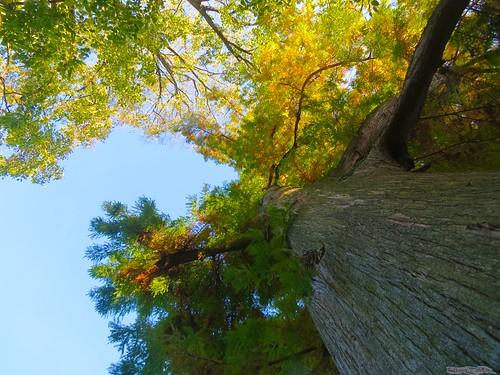 pennsylvania cypress hanover warehimemansion hanoverareahistoricalsociety vision:outdoor=0512 vision:plant=0798 hanoverborougharboretumcypresstree