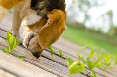 Hakuna (pedrozunino) Tags: dog beagle 35mm nikon hakuna d7000