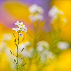 photo boillon christophe / photo macro au carré fleurs d'alyssum & nature / des fleurs d'alyssum blanc et la douceur des couleurs du printemps (BOILLON CHRISTOPHE) Tags: flower nature fleur yellow photo colorful bokeh alyssum 105mmf28gvrmicro 500500 nikond4 photoboillonchristophe