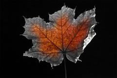 Rappel - 4 (Spock2029) Tags: autumn color fall leave automne leaf couleur vegetal feuille vgtal