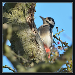 Great Spotted Woodpecker (Full Moon Images) Tags: bird nature woodpecker nt wildlife great reserve national trust spotted fen cambridgeshire wicken gsw
