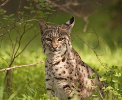 BOBCAT (sea25bill) Tags: california morning winter animal cat mammal feline wildlife bobcat lynxrufus