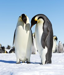 Emperor Penguins (Christopher.Michel) Tags: penguins ale antarctica ani emperors emperorpenguins weddellsea vision:outdoor=099 gouldbay