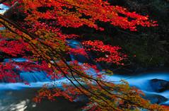 Leaves and water flow (Yohsuke_NIKON_Japan) Tags: autumn red fall nature water japan 35mm river nikon shimane 1208 okuizumo  d300s