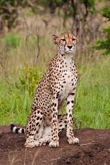 Cheetah (Terra eVita) Tags: africa travel nature animal cat southafrica mammal nikon feline wildlife bigcat cheetah wildcat kwazulunatal gamepark gamereserve wildlifepark gameviewing phindaprivategamereserve