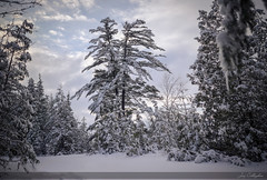 Winter Walk in the Forest (CalTek Design) Tags: trees winter sky white snow weather forest snowfall wonderland