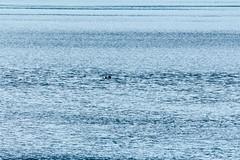_MG_3917a (markbyzewski) Tags: alaska ugly seaotter glacierbaynationalpark