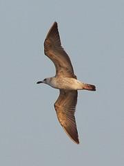 Caspian Gull (1st - winter) (Oleg Chernyshov) Tags: caspiangull laruscachinnans