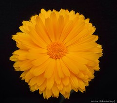 Sunshine on my Shoulders Makes Me Happy (Lissyanne (fighting pain daily)) Tags: plant flower macro yellow closeup petals flora blossom onblack calendula gardennature