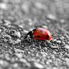 Lady in Red (@noutyboy (Instagram)) Tags: winter bw holland macro nature netherlands monochrome animal closeup digital photoshop canon insect eos is focus europe dof zwartwit bokeh nederland thenetherlands natuur 100mm ladybug l 28 february minimalism dier f28 nieuwegein selectivecolor februari 550 2014 lieveheersbeestje minimalisme nout 550d nabewerking canon100mm28lismacro eos550d noutyboy