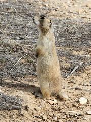 White-tailed Prairie Dog (Odephoto) Tags: ut prairiedog cynomys uintahcounty cynomysleucurus whitetailedprairiedog