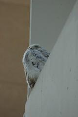 Snowy Owl (A. Drauglis) Tags: wild dc washington downtown owl dcist washingtonpost snowyowl irruption buboscandiacus